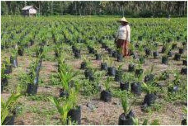 232 Hektare Sawit Siap Diremajakan
